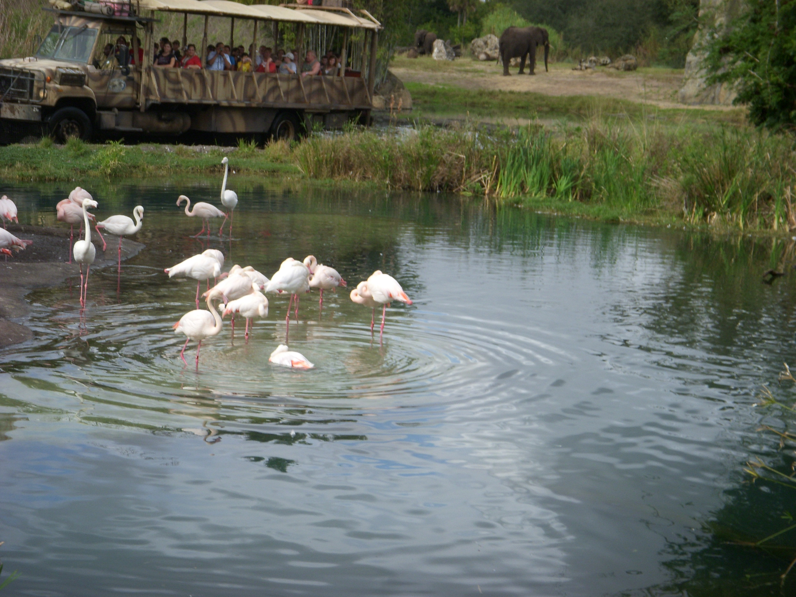 flamingo_safari