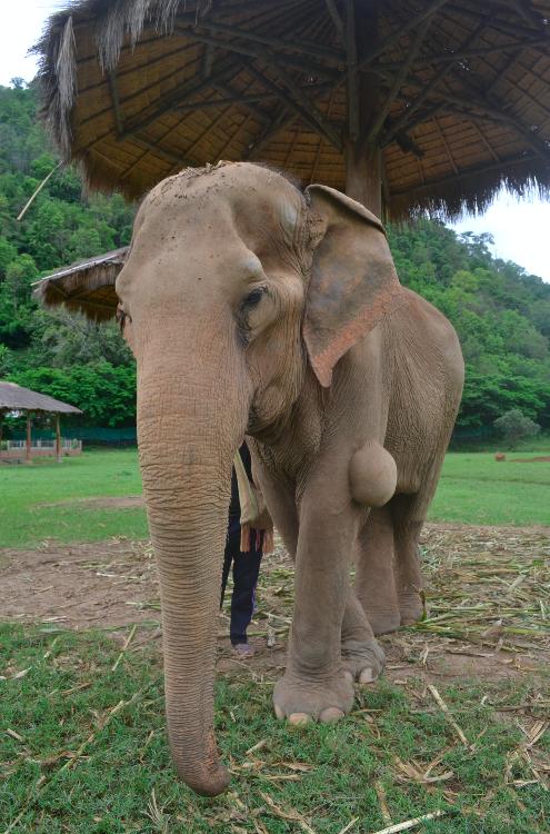 Não lembro o nome dessa elefante, mas ela tinha esse tumor. A guia disse que já tinham feitos exames e era benigno, por isso não vão tirar por enquanto.